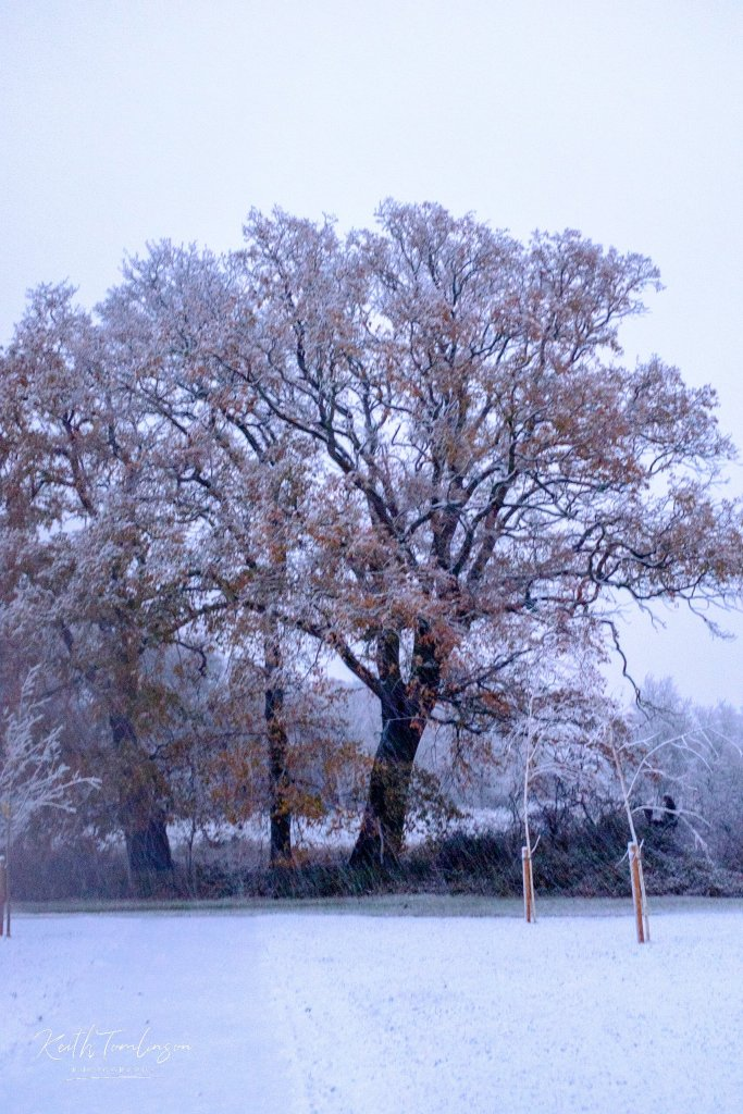 An oak tree covered in autumnal leaves and winter snow