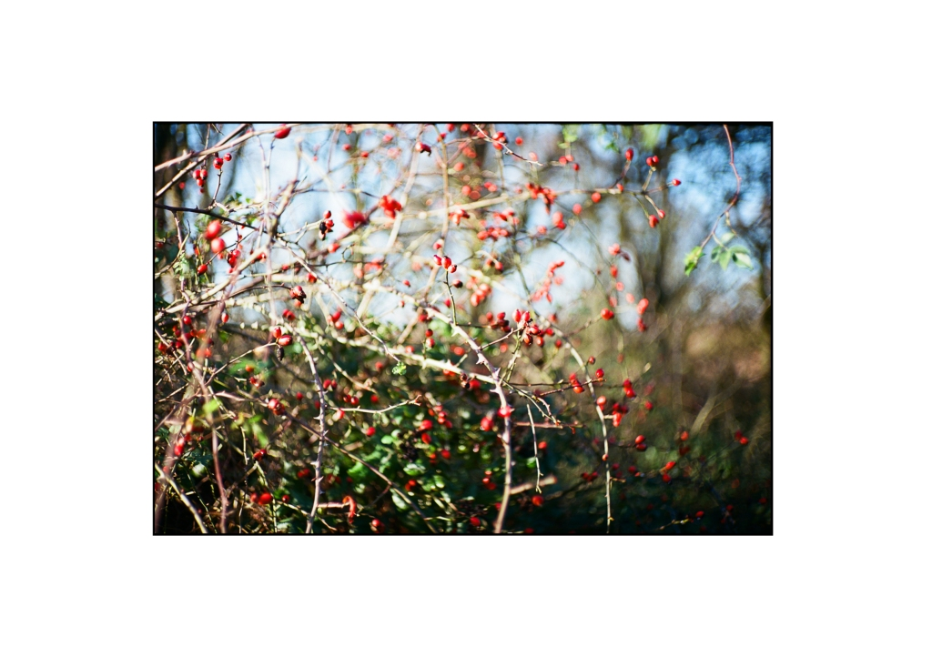 Close up photo of berries in a bush