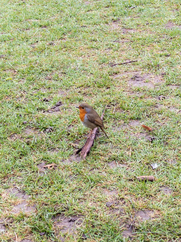 Photo of a Robin waiting for us to give him some food.