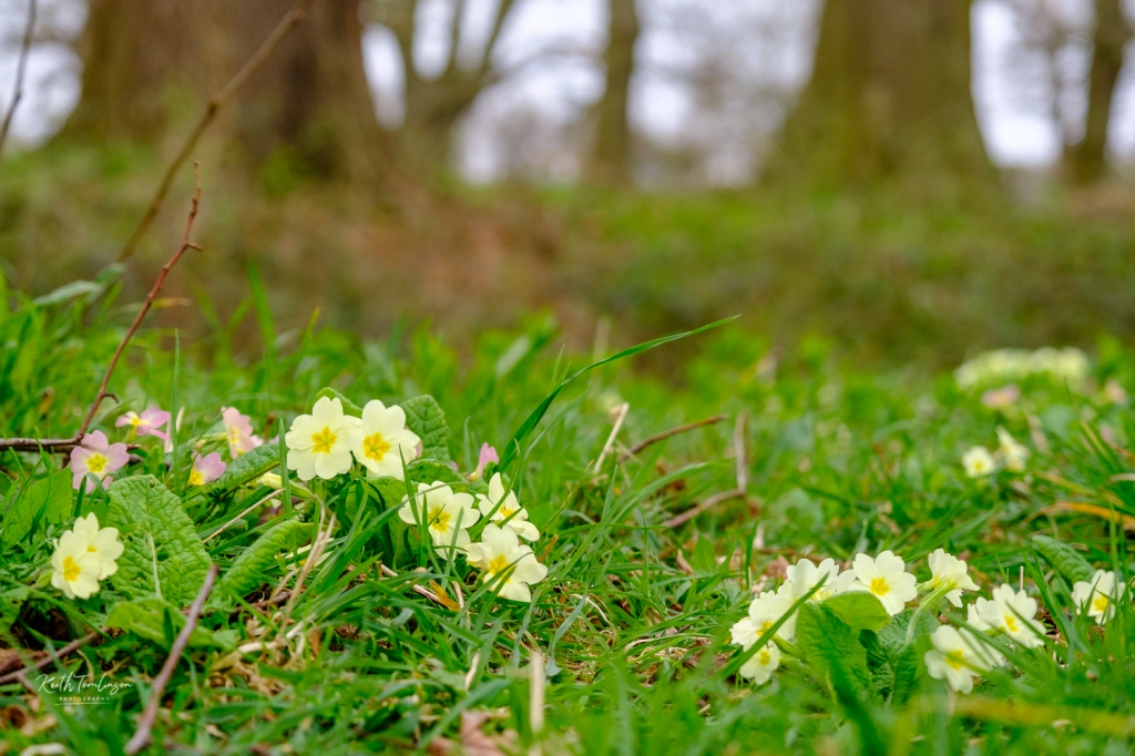 Primroses brining spring colour to the grounds of Blickling Hall